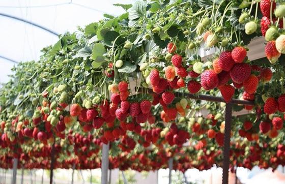 Вирощування полуниці в домашніх умовах або в теплиці