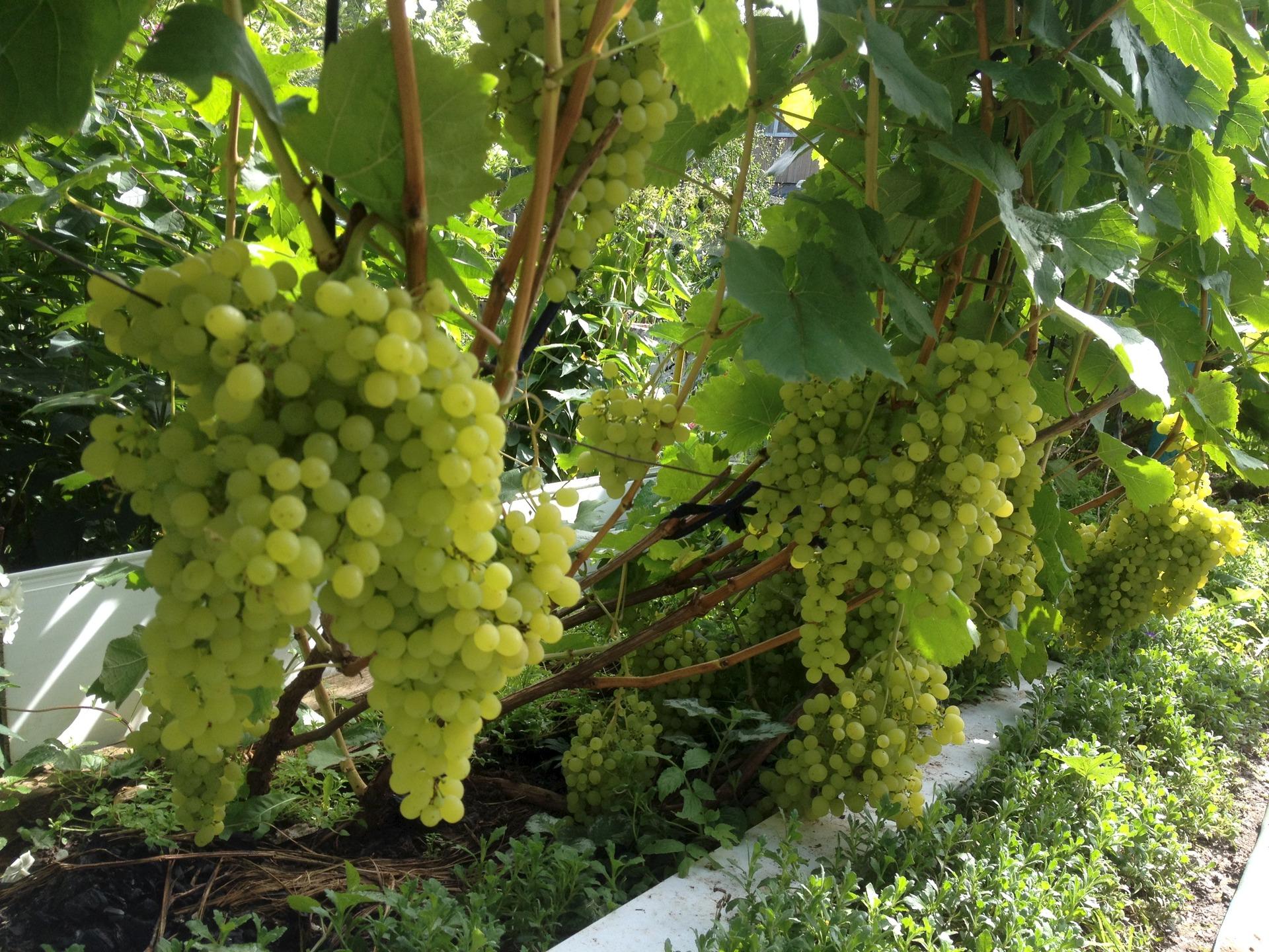 Современное виноградарство